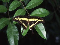 tropical swallowtail butterfly on leaves