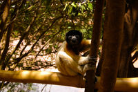 Portrait of the crowned sifaka aka Propithecus coronatus at Lemurs park, Antananarivo, Madagascar