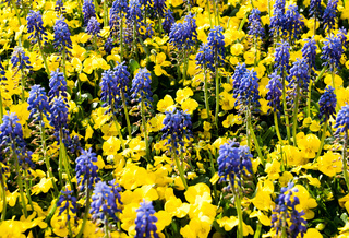 close up view of purple hyacinth flowers in a bed of yellow viola flowers