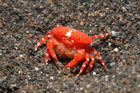 Red Round Crab, Neoliomera insularis