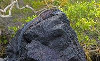 Marine iguana Amblyrhynchus cristatus albemarlensis, Isabela Island, Galapagos Islands, Ecuador