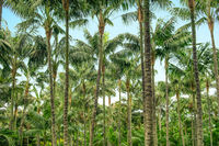 palm trees in tropical palm tree forest and blue sky -