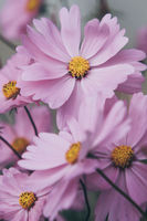 few pink beautiful cosmos flowers