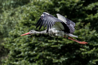 Flying European white stork, Ciconia ciconia in a german nature park