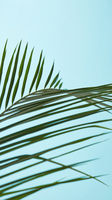 Pattern of green foliage of palm trees on a blue background with copy space. Natural layout