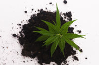 Cannabis plant in soil on white background