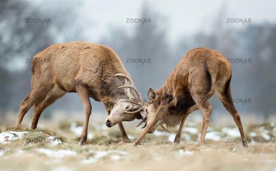 Cervus elaphus, Red deer, Europe