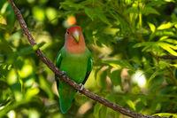 Rosy-faced lovebird (Agapornis roseicollis), Namibia
