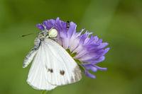 Large white butterfly 'Pieris  brassicae' caught by flower crab spider  'Misumena vatia'