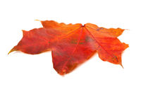 Red autumn maple leaf on white background