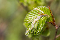 new green leafs on the beech