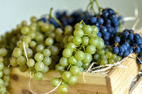 fresh wine grapes after the harvest