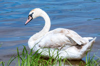 Young swan on blue lake water