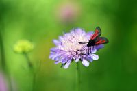 Transparent Burnet, Zygaena purpuralis