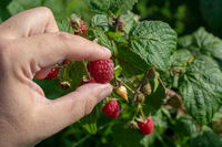 Raspberry picking. Male hands gathering organic raspberries.