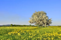 Blooming apple tree on the meadow among yellow flowers