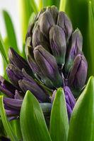 Purple hiacinth flower blossom