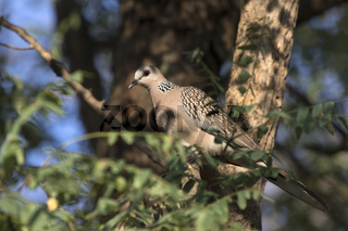 Spotted Dove sitting in the tree crown in the shade on a bright sunny afternoon