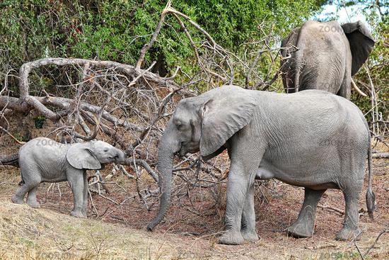 Elephants at South Luangwa National Park, Zambia, (Loxodonta africana)