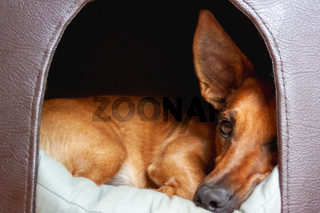 Small brown cute mixed breed dog looking out of the door of his doghouse.