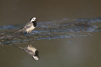 White Wagtail, Motacilla alba, Northern Germany