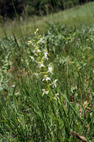 lesser butterfly-orchid (Platanthera bifolia) - wild orchid