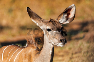 antelope female Kudu, Chobe, Botswana
