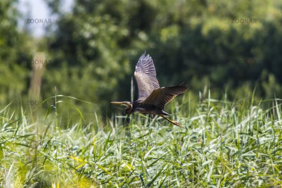 Purple heron (Ardea purpurea) in flight