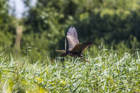 Purple heron (Ardea purpurea) in flight