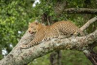 Leopard lies licking lips on lichen-covered branch