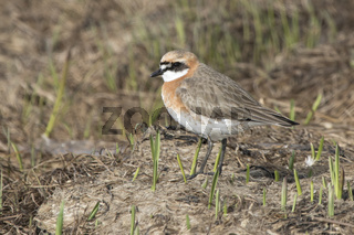 The Lesser sand plover standing among the low grass in the spring day