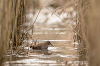 WATER RAIL Rallus aquaticus searching for food in the water between common reed, Phragmites australis