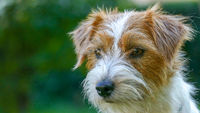 Jack Russell Terrier outdoors close up portrait