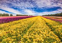 The spring garden buttercups