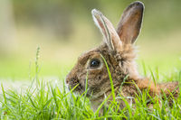 Brown rabbit hiding in green grass in the spring