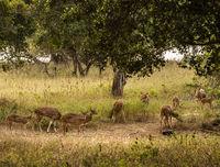 Yala NP - Spotted Deer