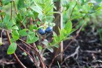 Blueberries ripening on the bush. Shrub of blueberries.
