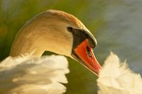 Mute swan in the evening
