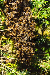 A swarm of European honey bees clinging to a bee queen on a bush