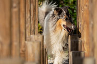 A beautiful collie with long hair out in nature