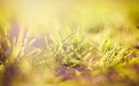 Green grass . Background green grass. beautiful green grass after mowing, lawn background