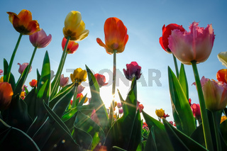 Field of tulips with blue sky
