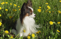 Beautiful dog Papillon sitting on green lawn with dandelions