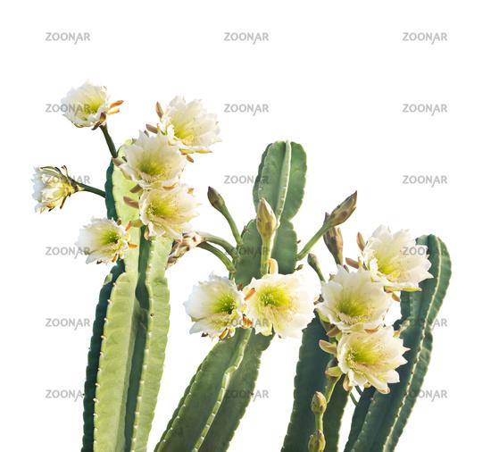 San Pedro Cactus Bloom on white background