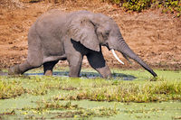 Elephant in the water at South Luangwa National Park, Zambia