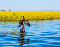 Big cormorant