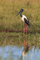 black-necked stork (Ephippiorhynchus asiaticus) Queensland , Australia