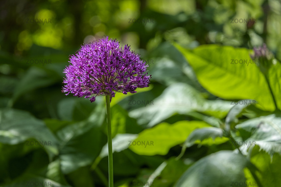 Ornamental garlic (Allium sp.)