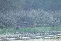 Red stag with herd in the rut