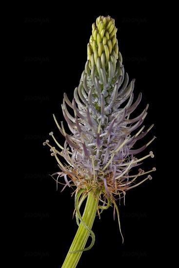 Earlier Devil's Claw (Phyteuma spicatum)